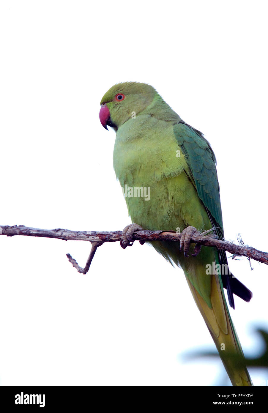 Rose-ringed Parakeet, (Psittacula krameri) an introduced, feral, bird, Tenerife, Canary Islands, Spain. Stock Photo
