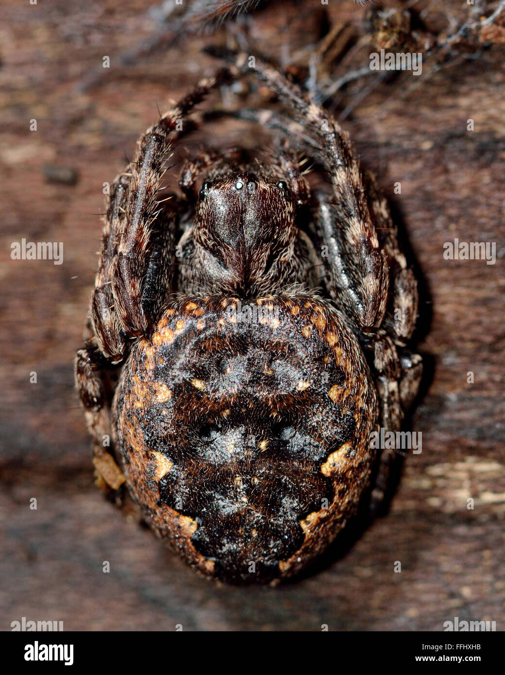 Walnut orb weaver (Nuctenea umbratica) defensive posture. A large and flattened orb-weaving spider in the family - Stock Image