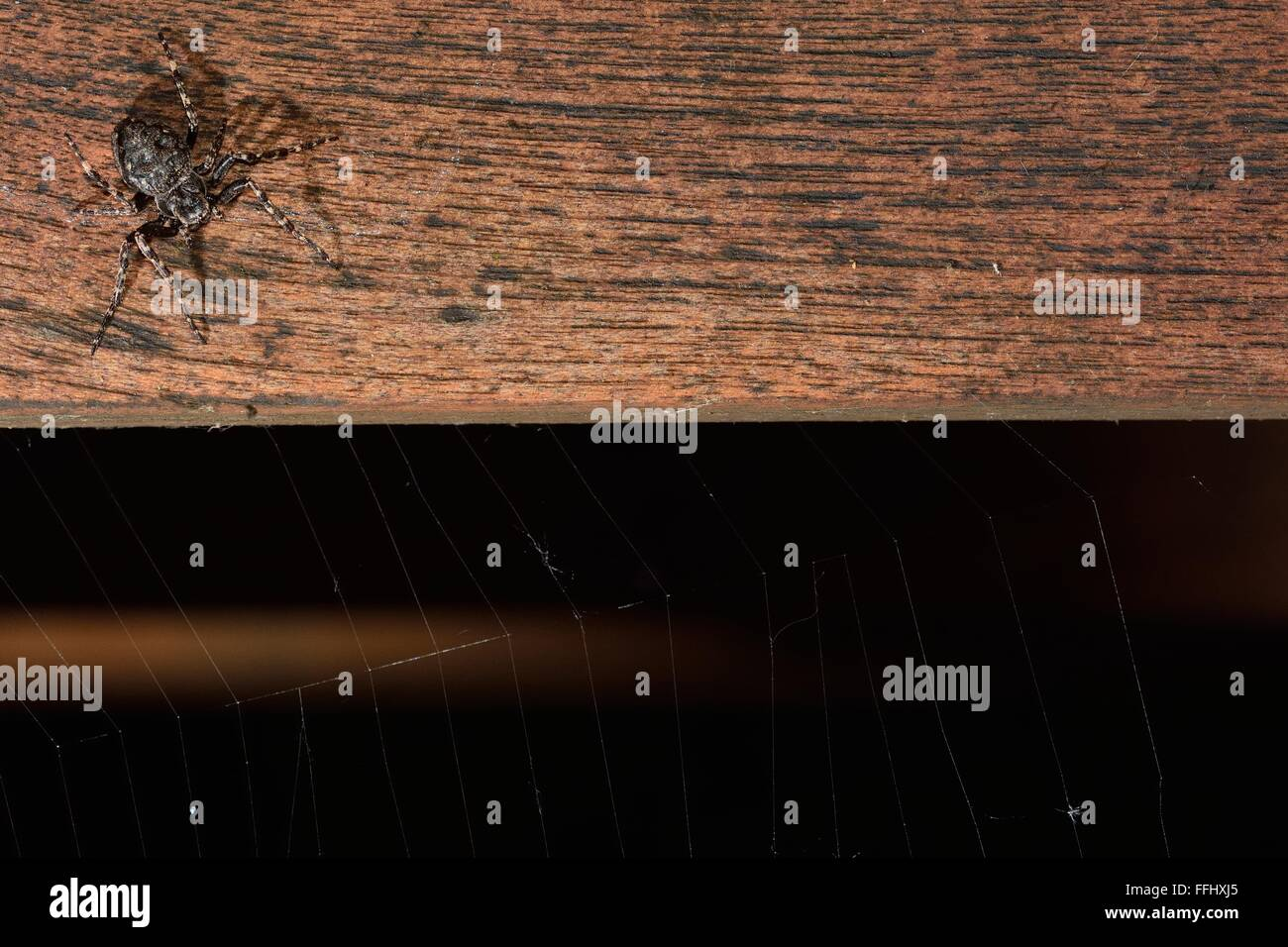 Walnut orb weaver (Nuctenea umbratica) on table with web. A large and flattened orb-weaving spider in the family - Stock Image
