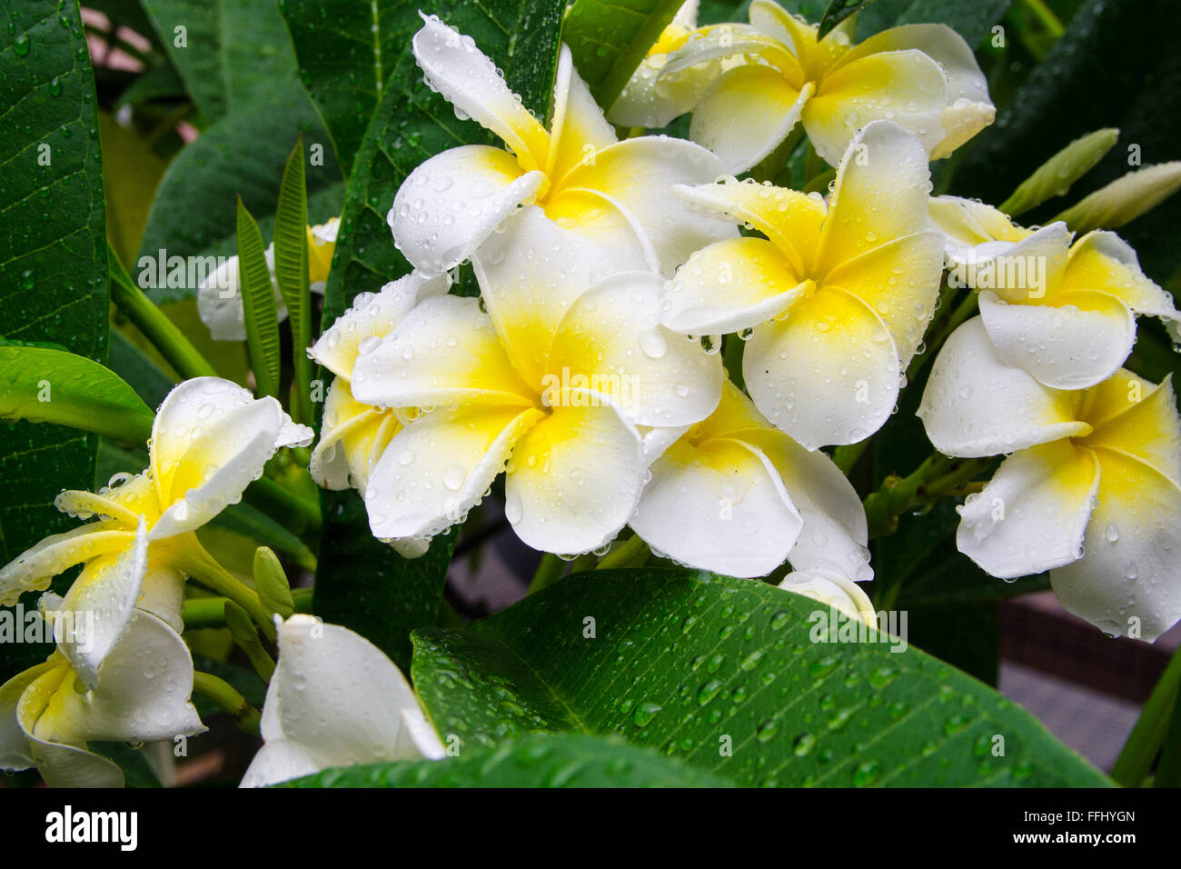 Frangipani or Plumeria flower in drops of water after rain. Traditional flowers Hawaiian Culture, Fiji, Bali, Laos, - Stock Image
