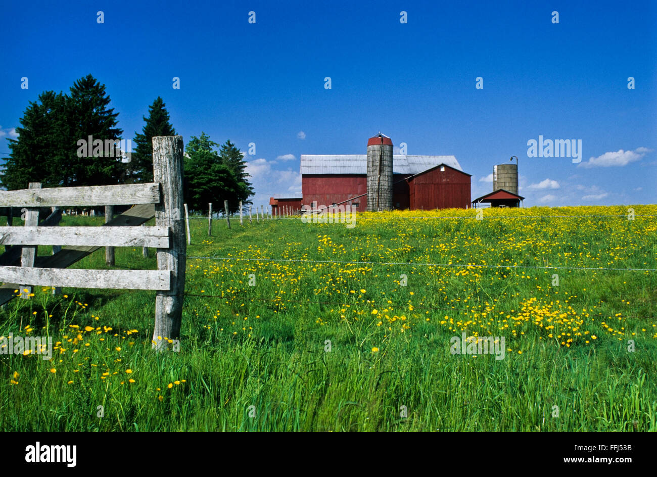 Red barn on a farm among yellow wildflowers in a meadow flowers and blue sky, Ohio, USA, US, Amish country meadows - Stock Image