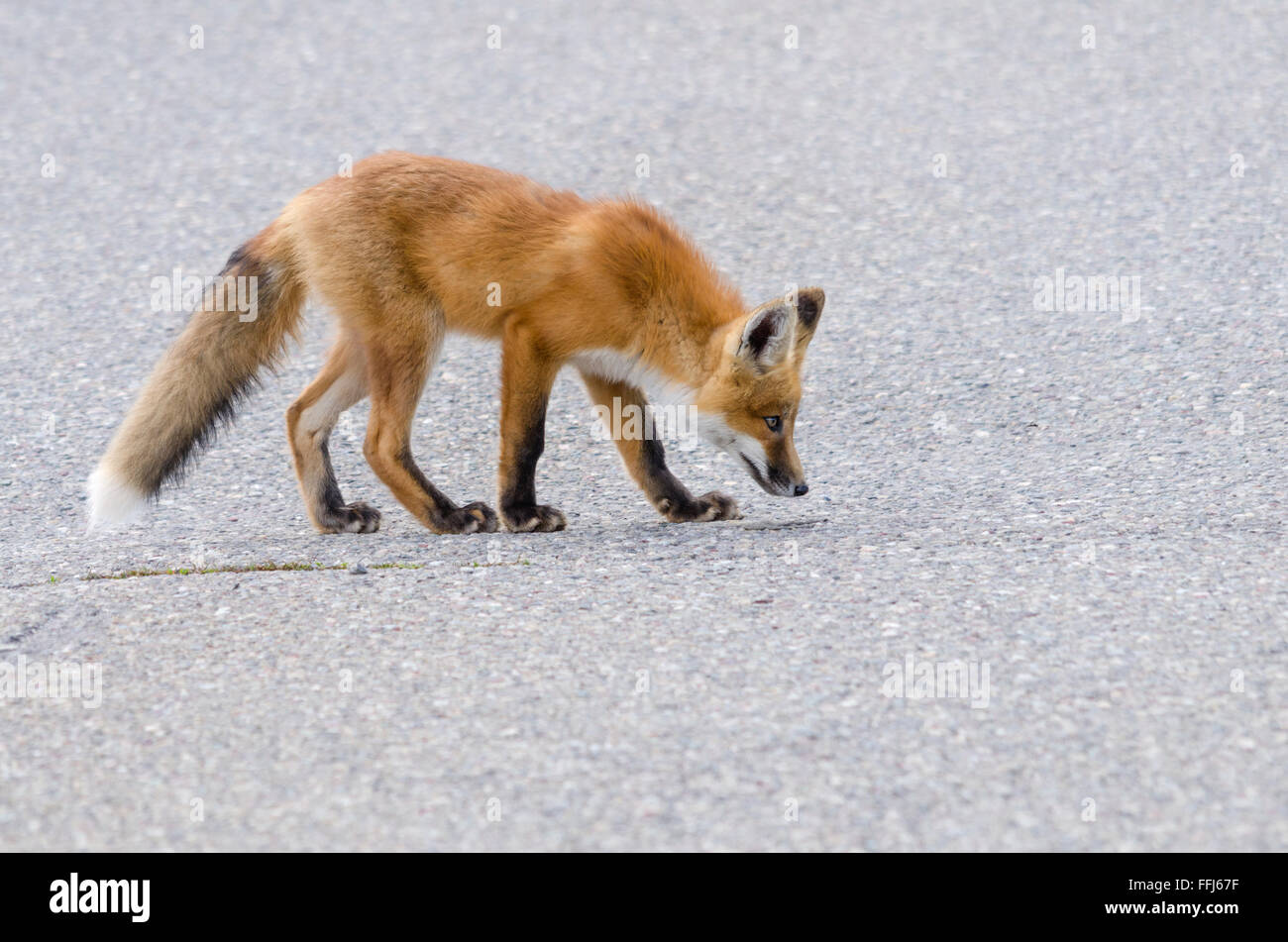 Young red fox kit (vulpes vulpes) watching a mosquito, on a road in Waterton Lakes National Park, Alberta, Canada. - Stock Image