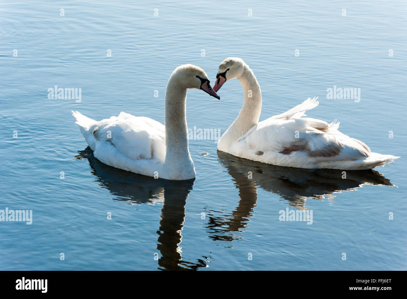 Two swans on Valentine's Day look like they're kissing and making a heart Stock Photo