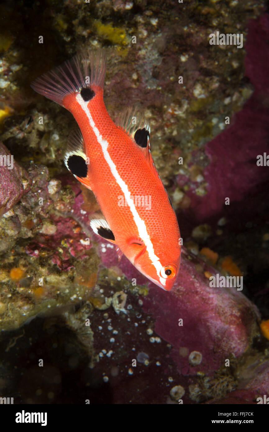 Sheepshead Fish Stock Photos & Sheepshead Fish Stock Images - Alamy