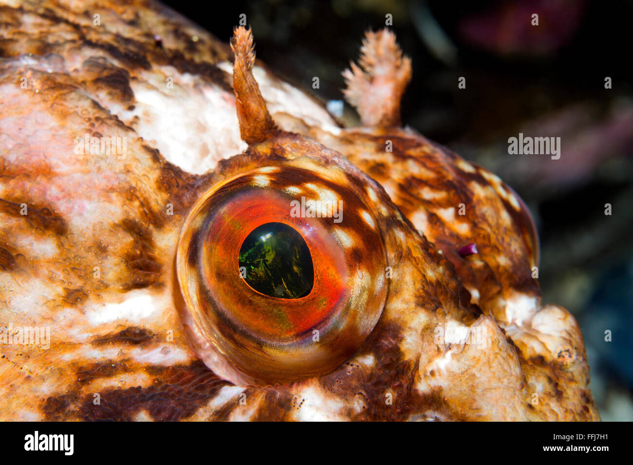 Close-up of the eye of a curious cabezon fish in cool California water - Stock Image