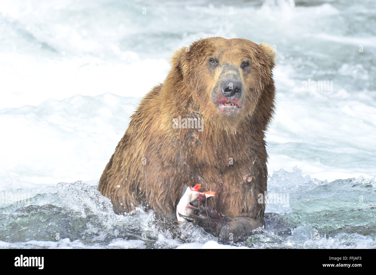Alaskan Brown Bear clutches Salmon while fishing at Brooks Falls - Stock Image