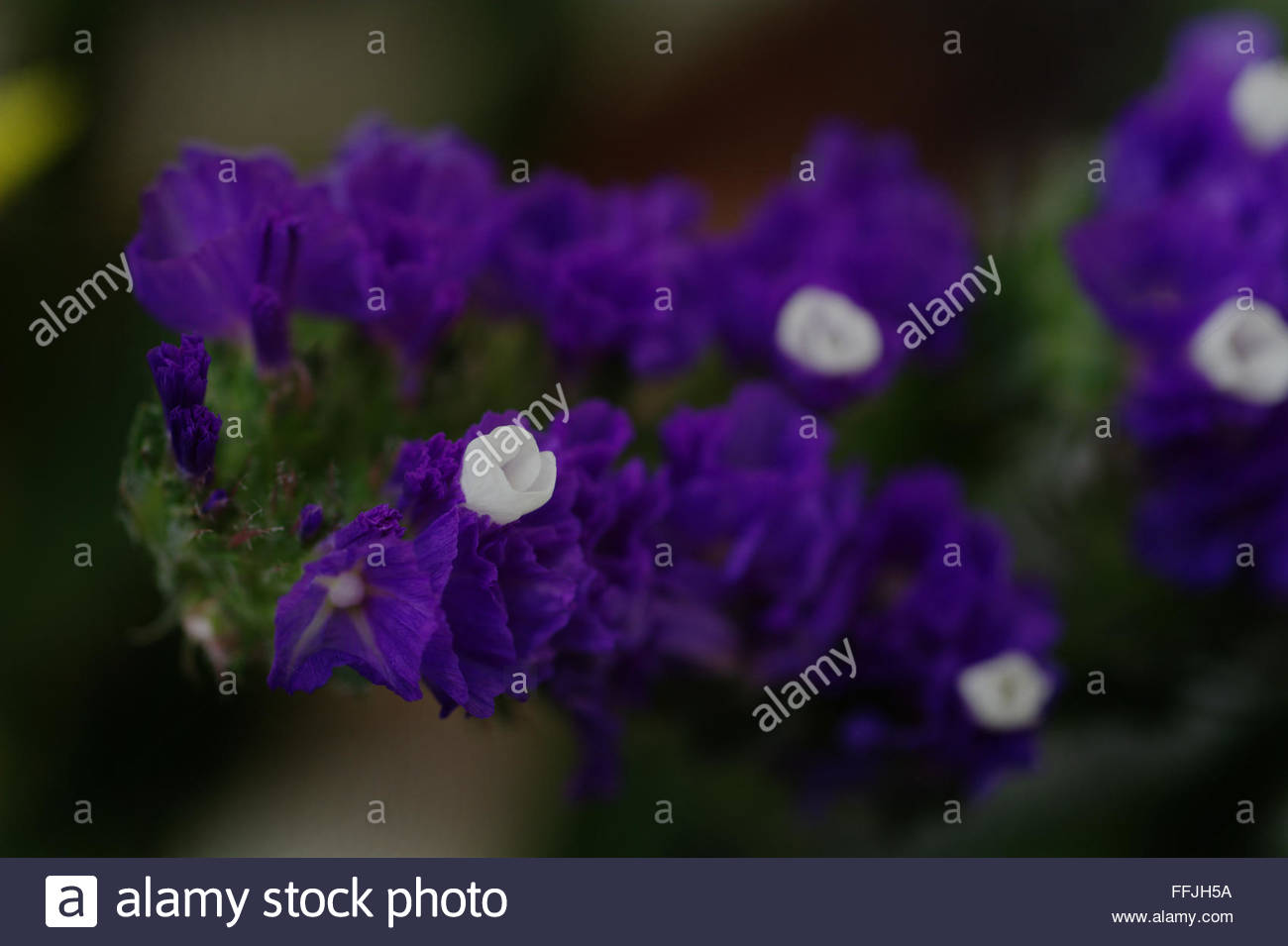 Statice flower stock photos statice flower stock images alamy photograph of a purple statice flower stock image mightylinksfo