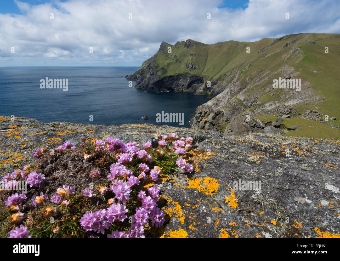 pinks or thrift in bloom on st kilda cliffs with atlantic - Stock Image