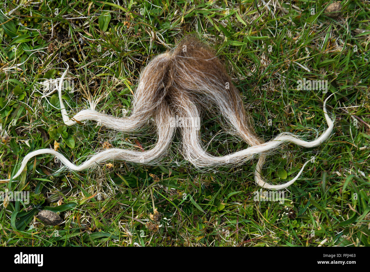 soay sheep strand of wool tuft discarded on st kilda Stock Photo