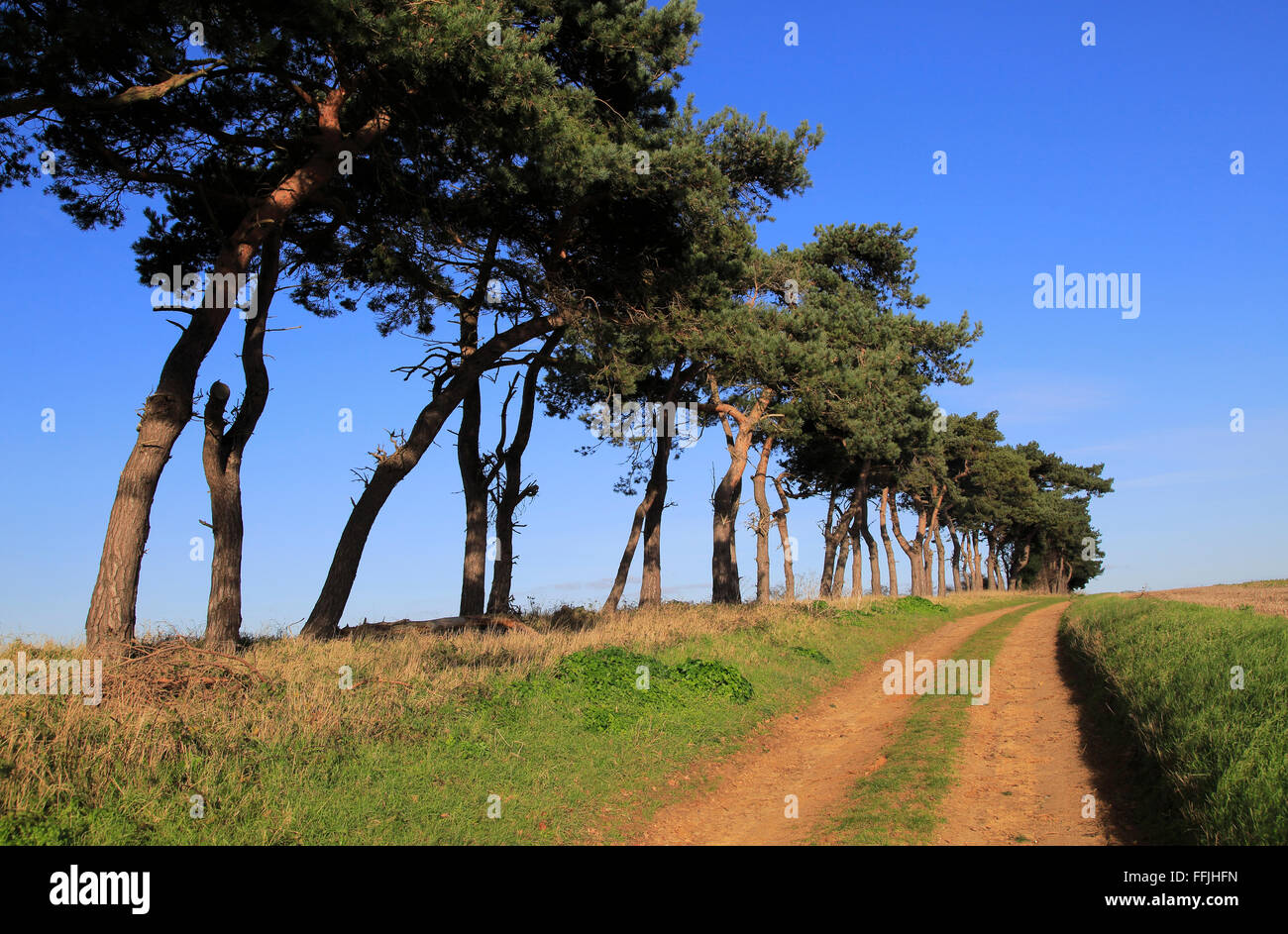 A line of Scots pine trees marking an field boundary in the countryside, Shottisham, Suffolk, England - Stock Image