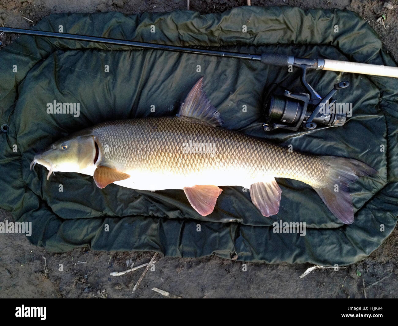 Big Fish Catch Stock Photos Images Alamy Barbel 10 Kg 10lb 4oz Caught From River Wye At The Warren Hay On Powys