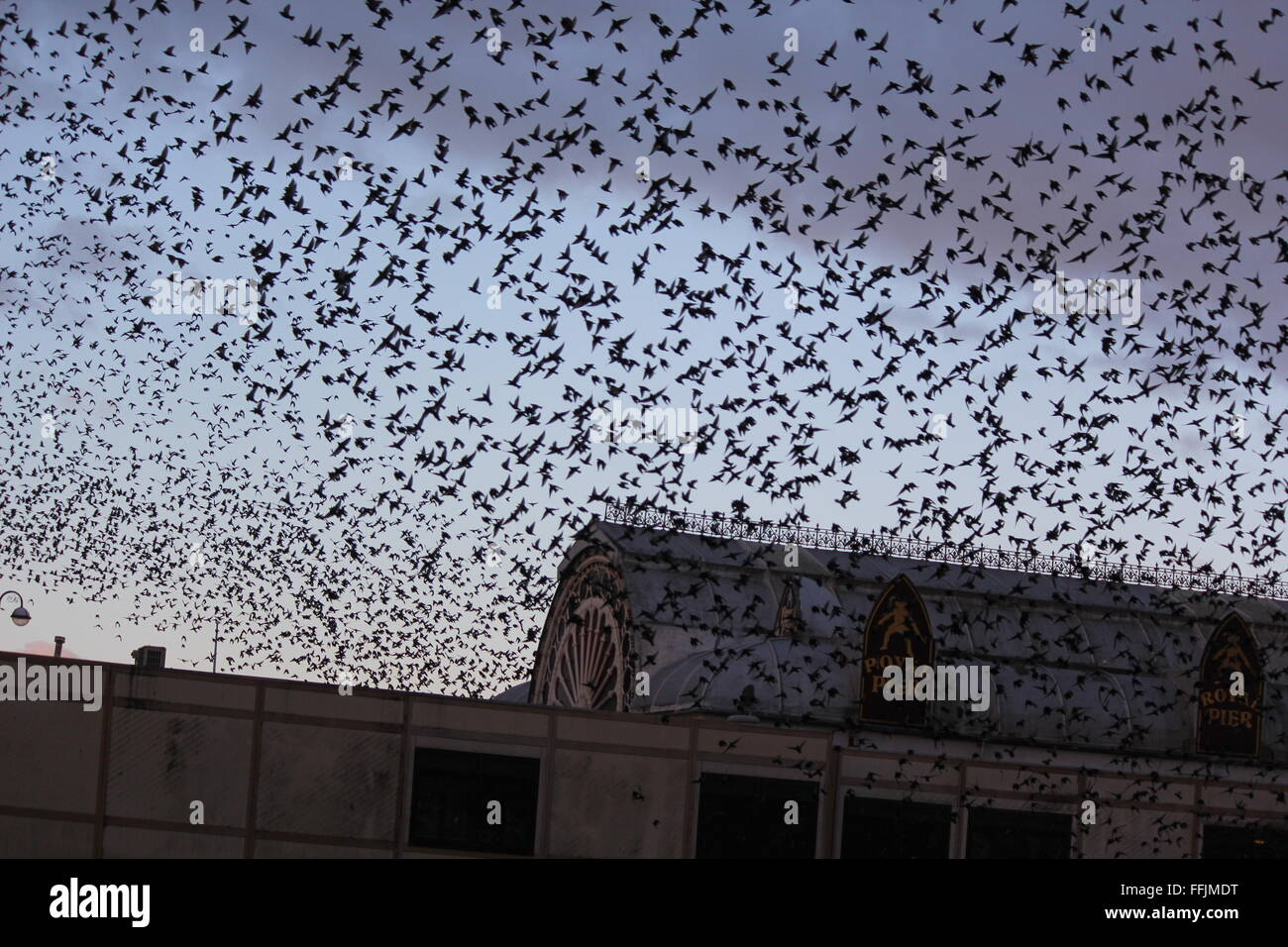 Aberystwyth, Wales. UK. 15th February, 2016. UK Weather: Sunrise when thousands of starlings take off from their Stock Photo