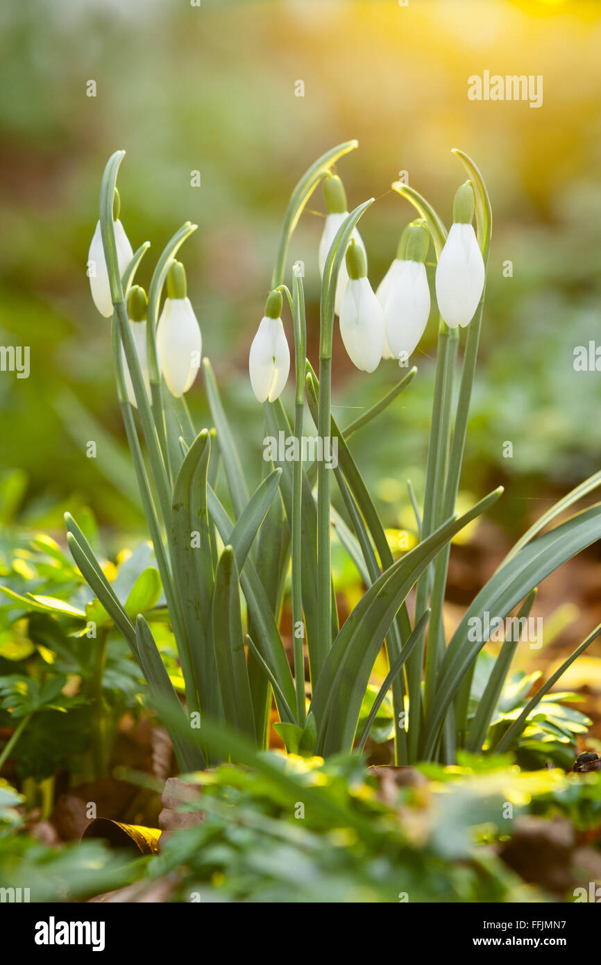 Close up photograph showing a bunch of Snowdrops in woodland on a winter day in North Lincolnshire, UK. February - Stock Image