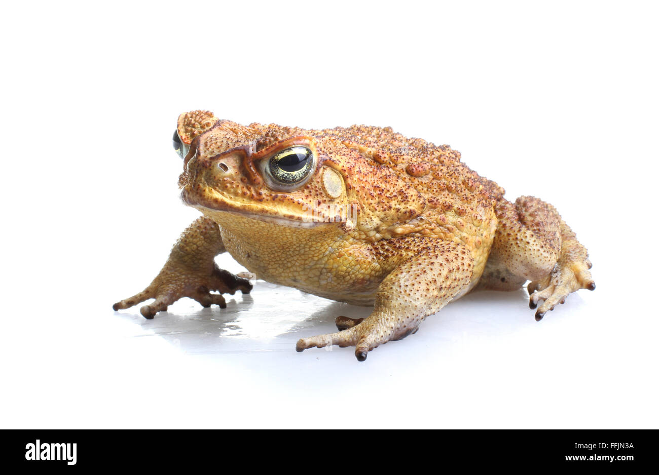 Cane Toad - Bufo marinus - or giant neotropical or marine toad.  Native to Central and South America  introduced - Stock Image