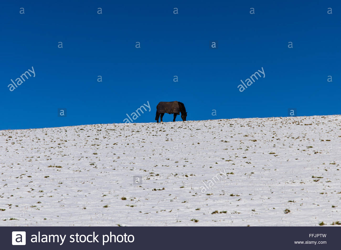 Chesters, Hawick, UK. 15th February 2016. A pony in a winter New Zealand Rug grazes in the sunshine and a snow covered - Stock Image