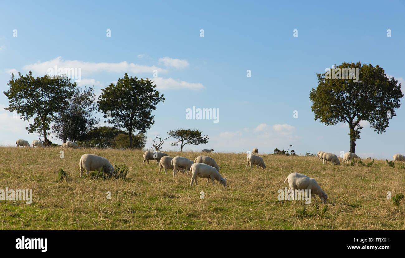 Sheep in a field Blackdown Hills east Devon England UK countryside view in this English Area of Outstanding Natural - Stock Image