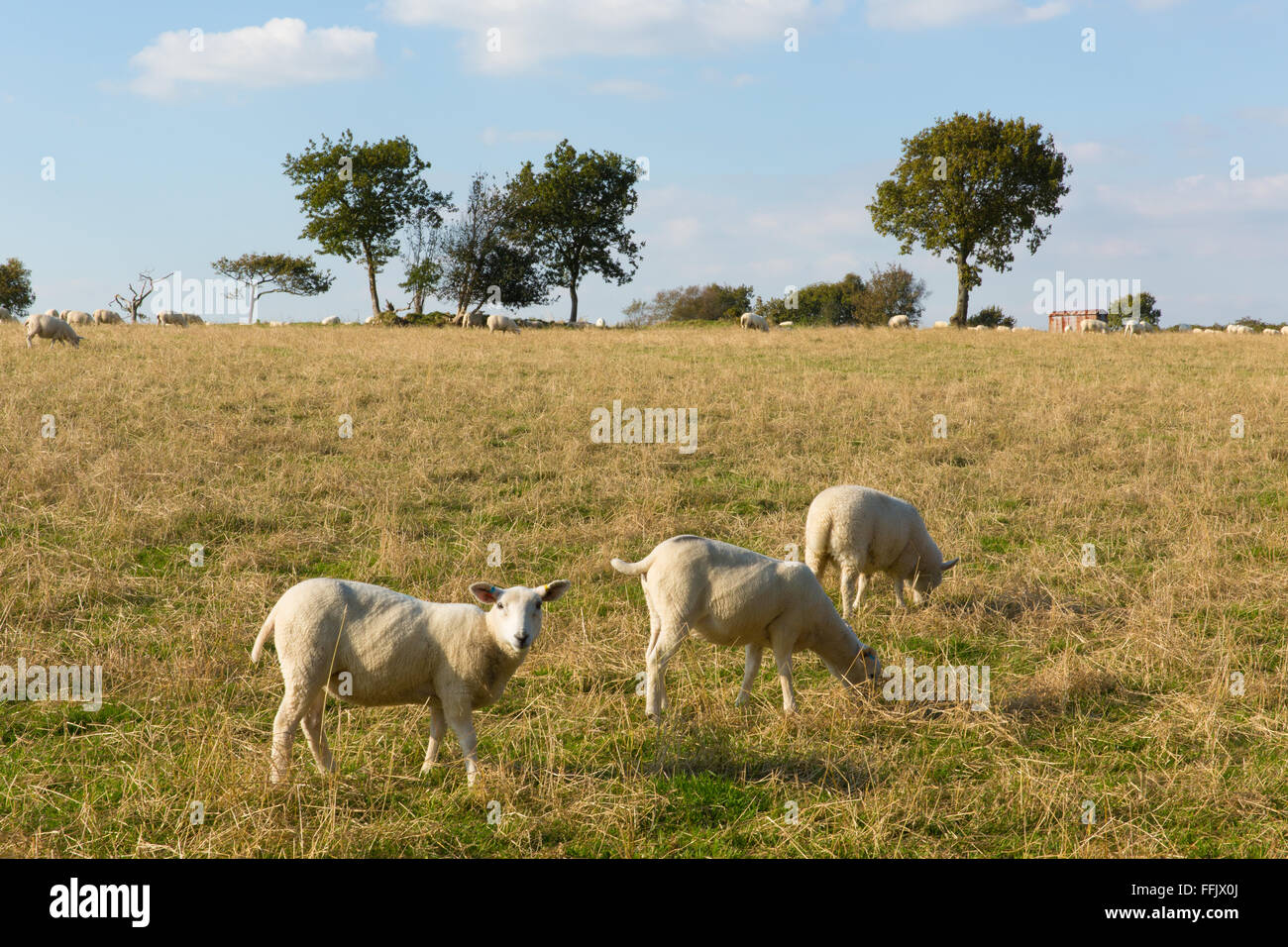Blackdown Hills east Devon England UK countryside view with sheep in this English Area of Outstanding Natural Beauty - Stock Image