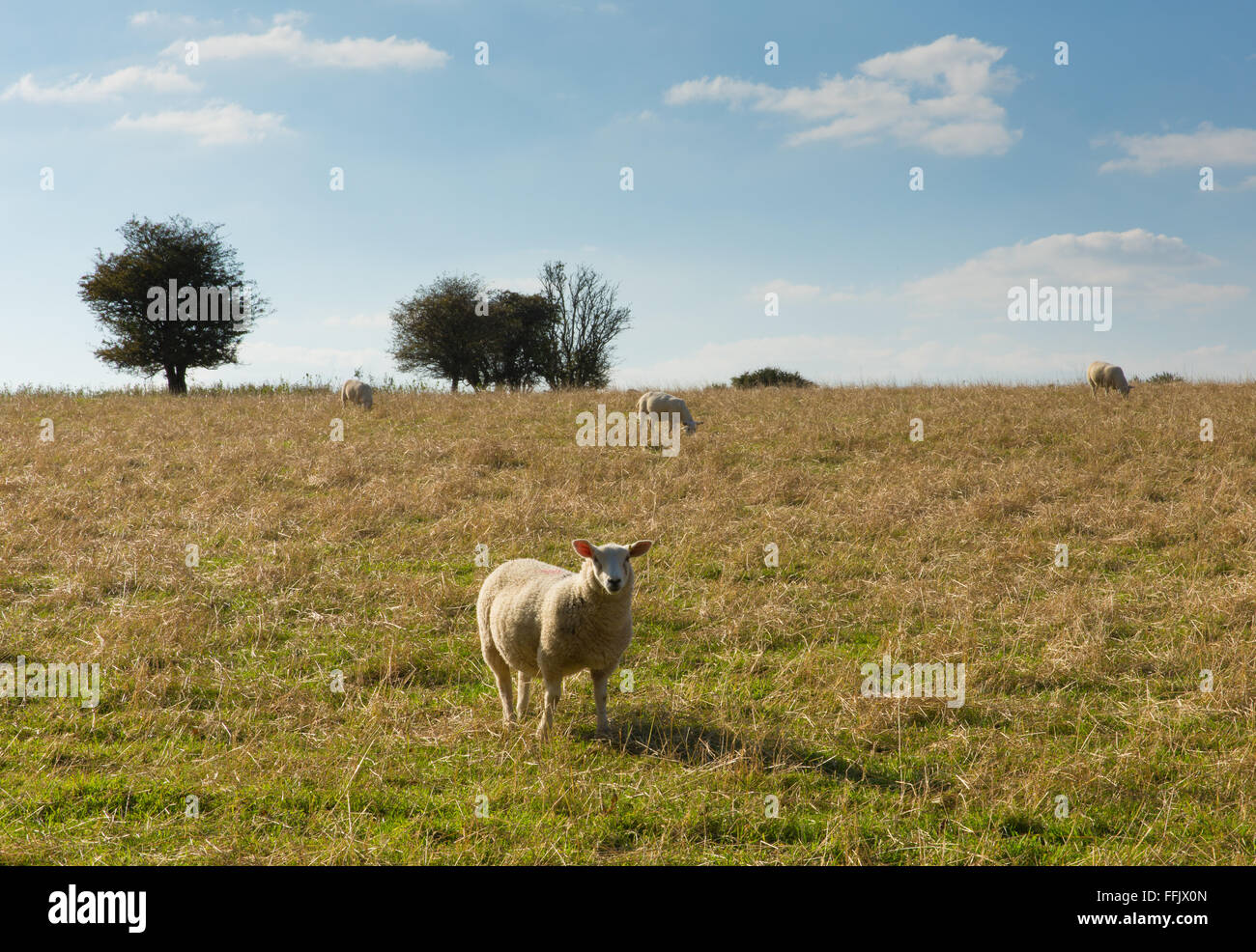Blackdown Hills east Devon England UK countryside view with a sheep in this English Area of Outstanding Natural - Stock Image