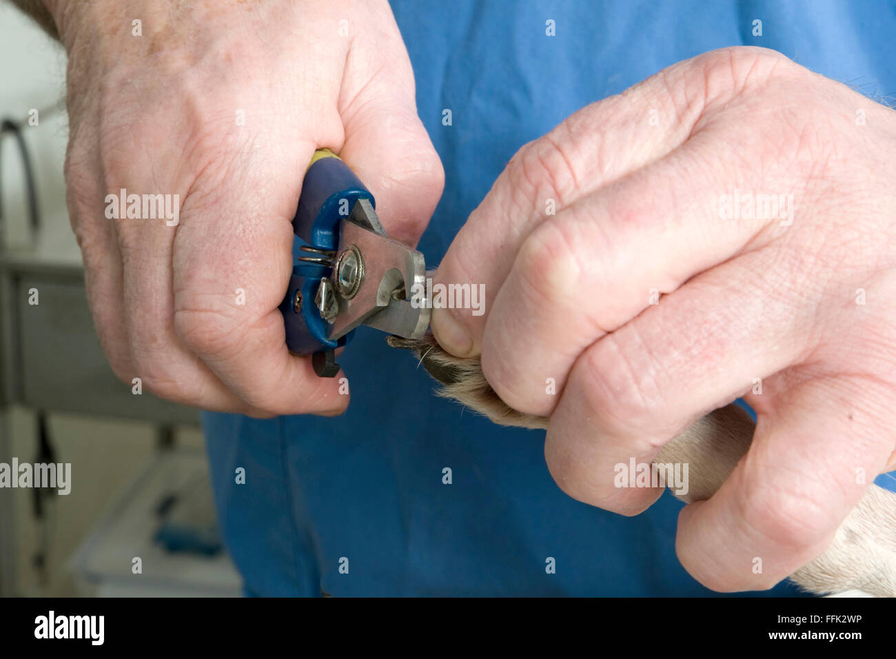 Vet hands with nail clippers and dog foot - Stock Image