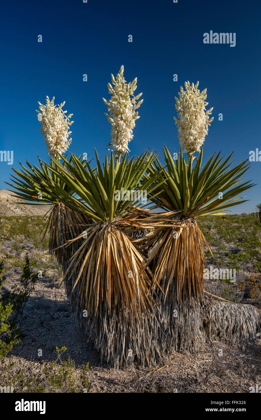 Blooming giant dagger yuccas in Dagger Flat area, Chihuahuan Desert, Big Bend National Park, Texas, USA Stock Photo