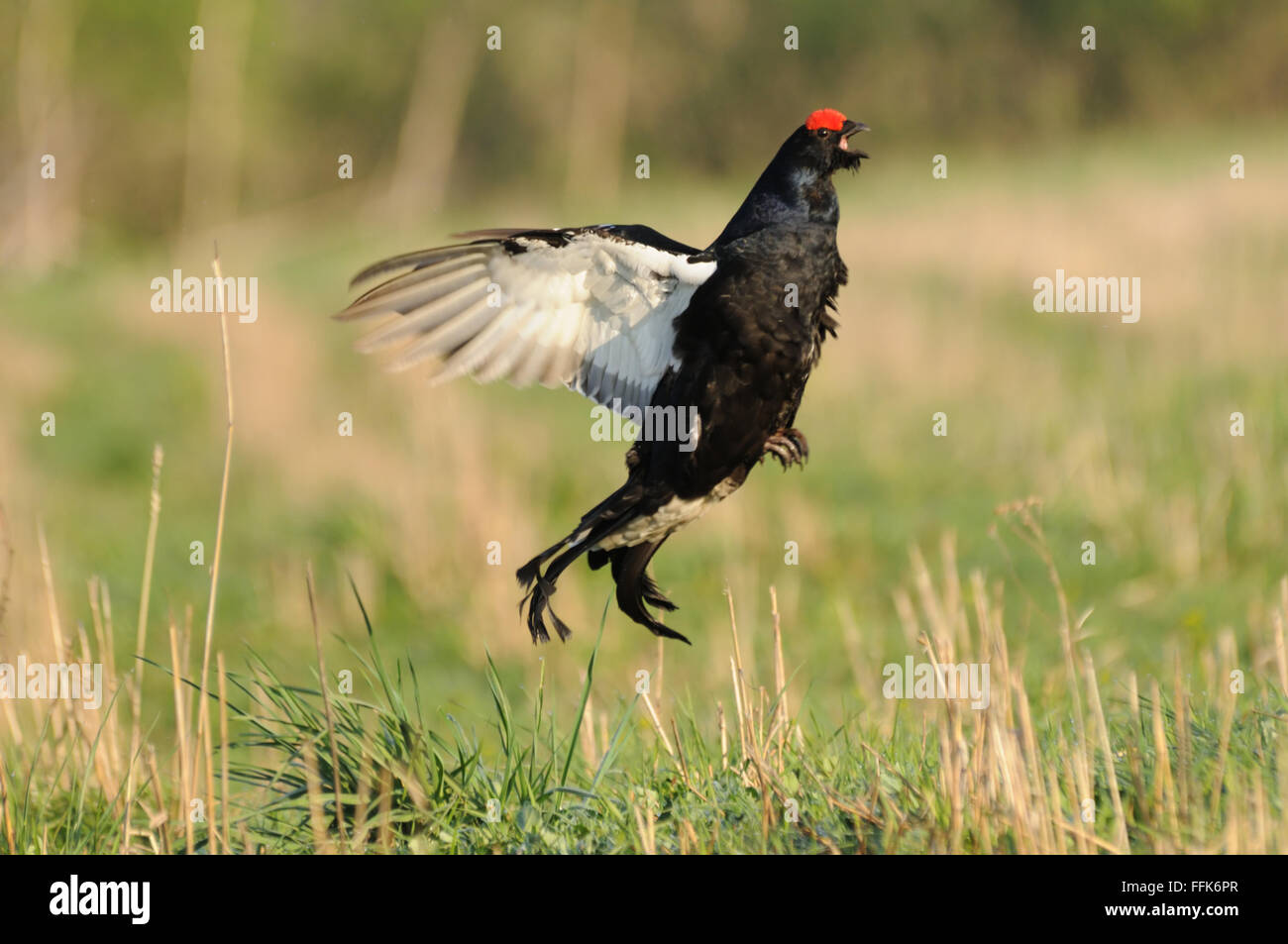 Mating call of jumping male Black grouse (Tetrao tetrix) early morning. Moscow region, Russia - Stock Image