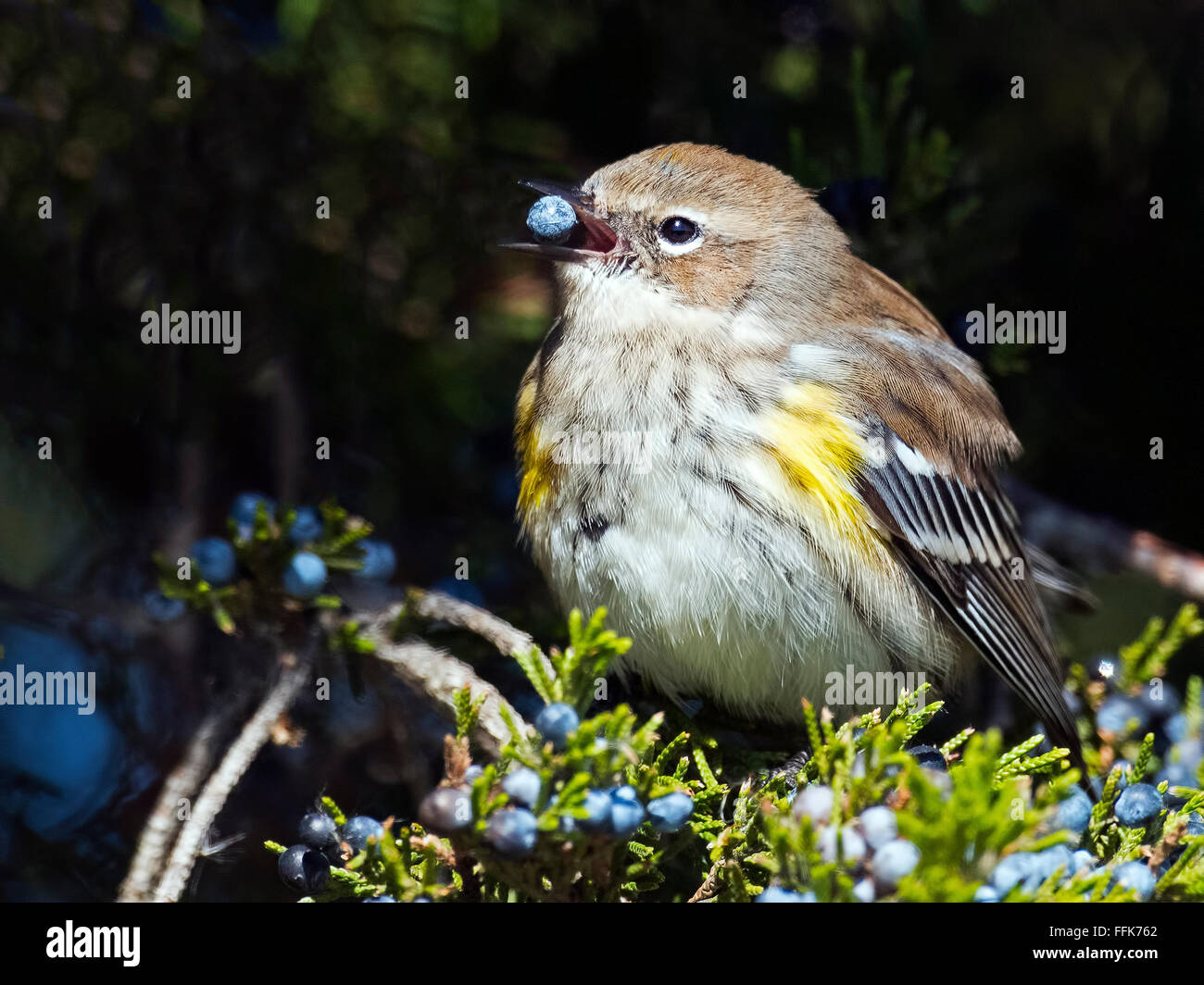 Ma;e Yellow-rumped Warbler eating berries - Stock Image