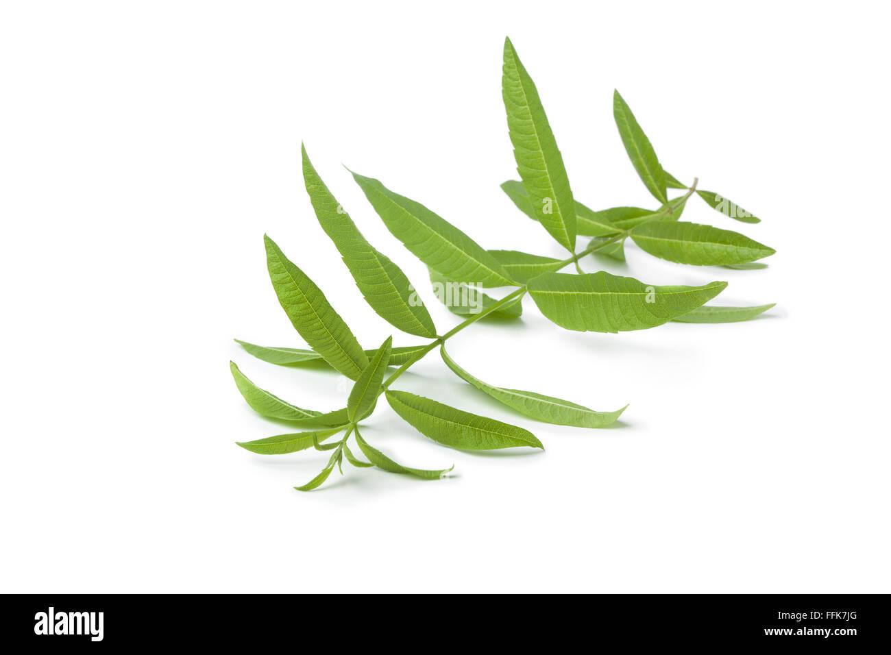 Twig of fresh verveine on white background - Stock Image