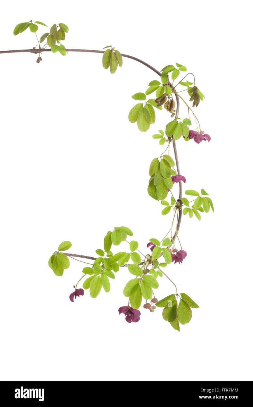 Twig of fresh flowering Akebia on white background - Stock Image