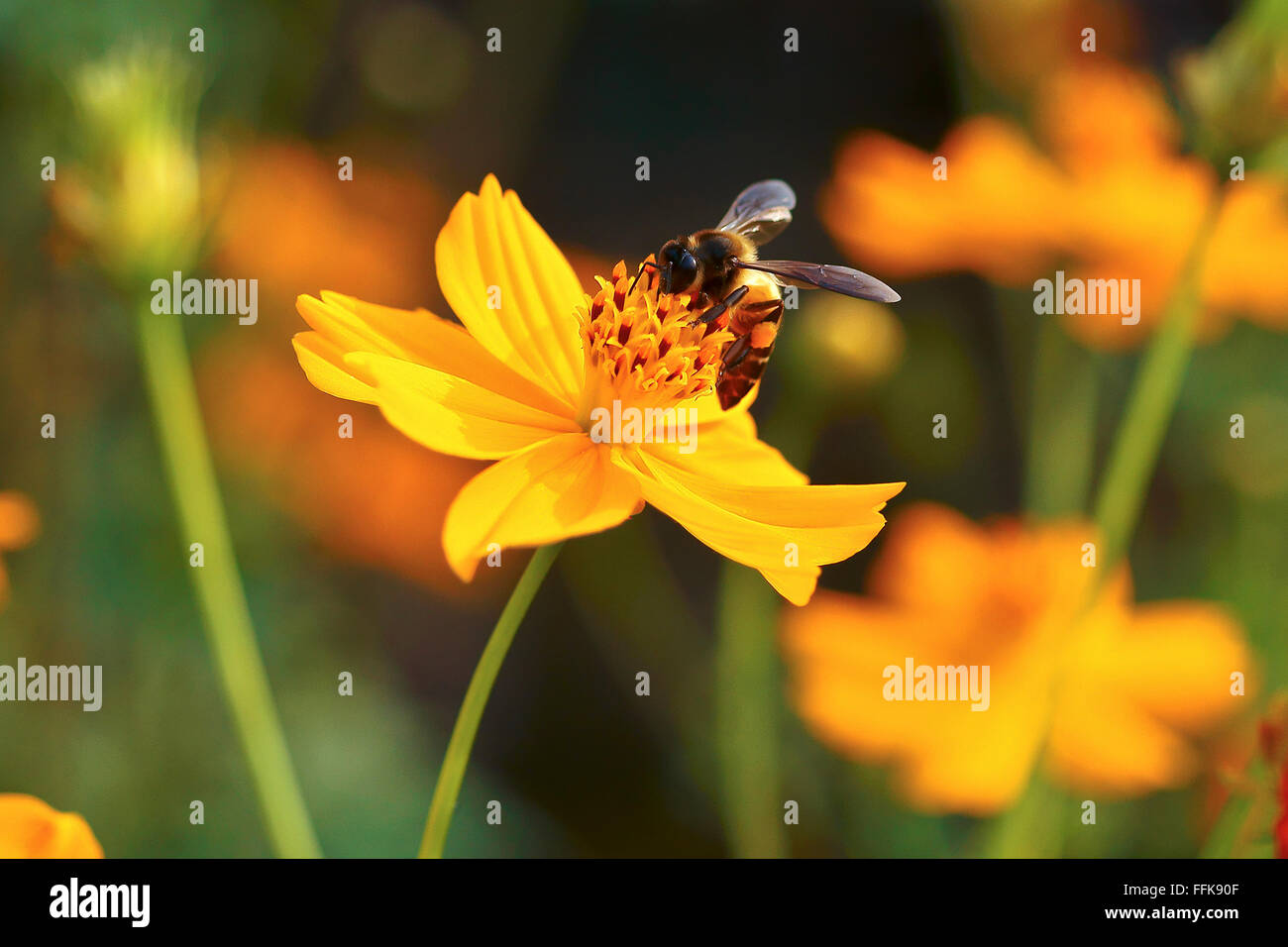 Honey Bee on Yellow Flower, Close Up Macro Stock Photo