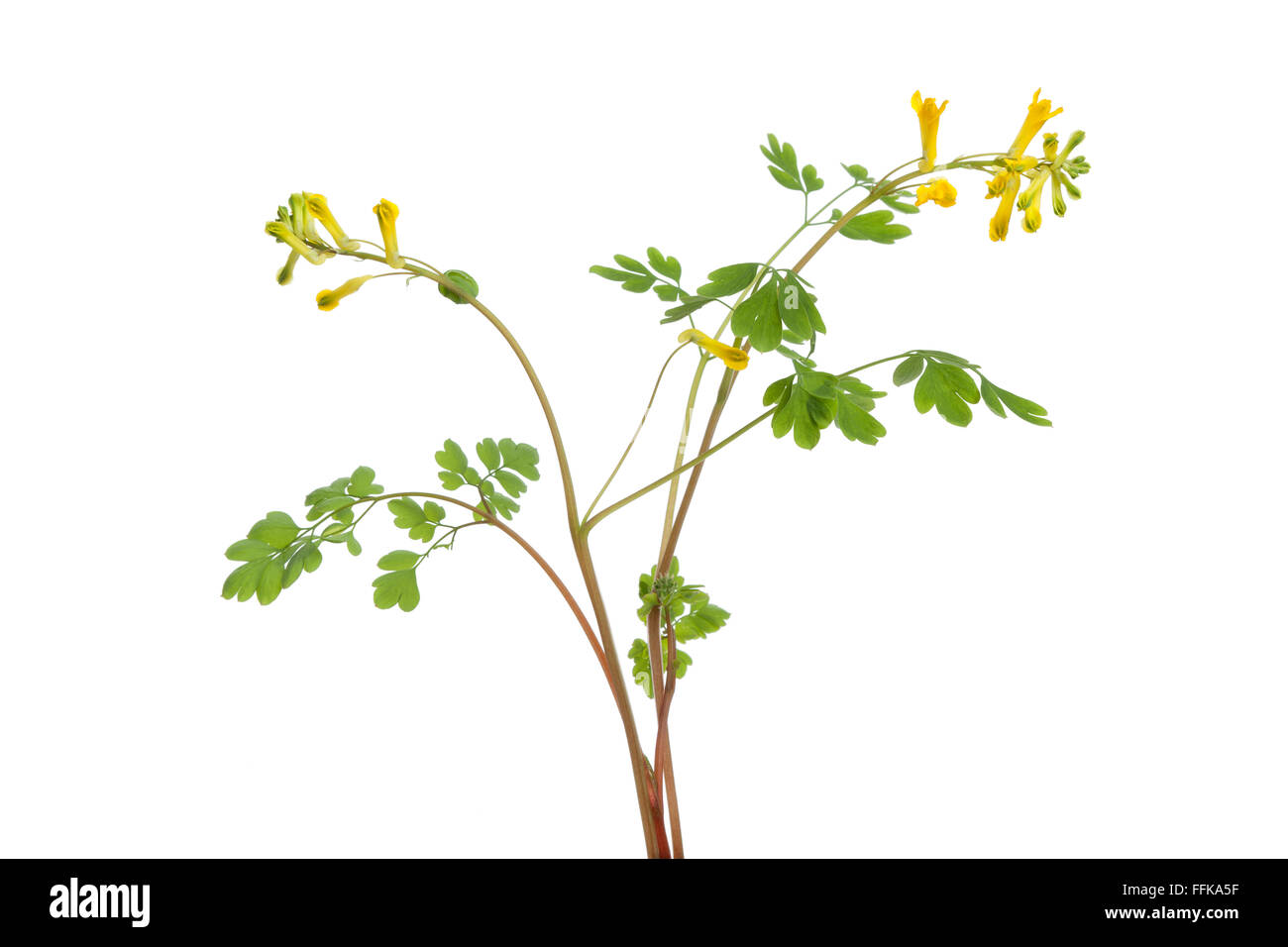 Twig of fresh flowering Rue at white background - Stock Image