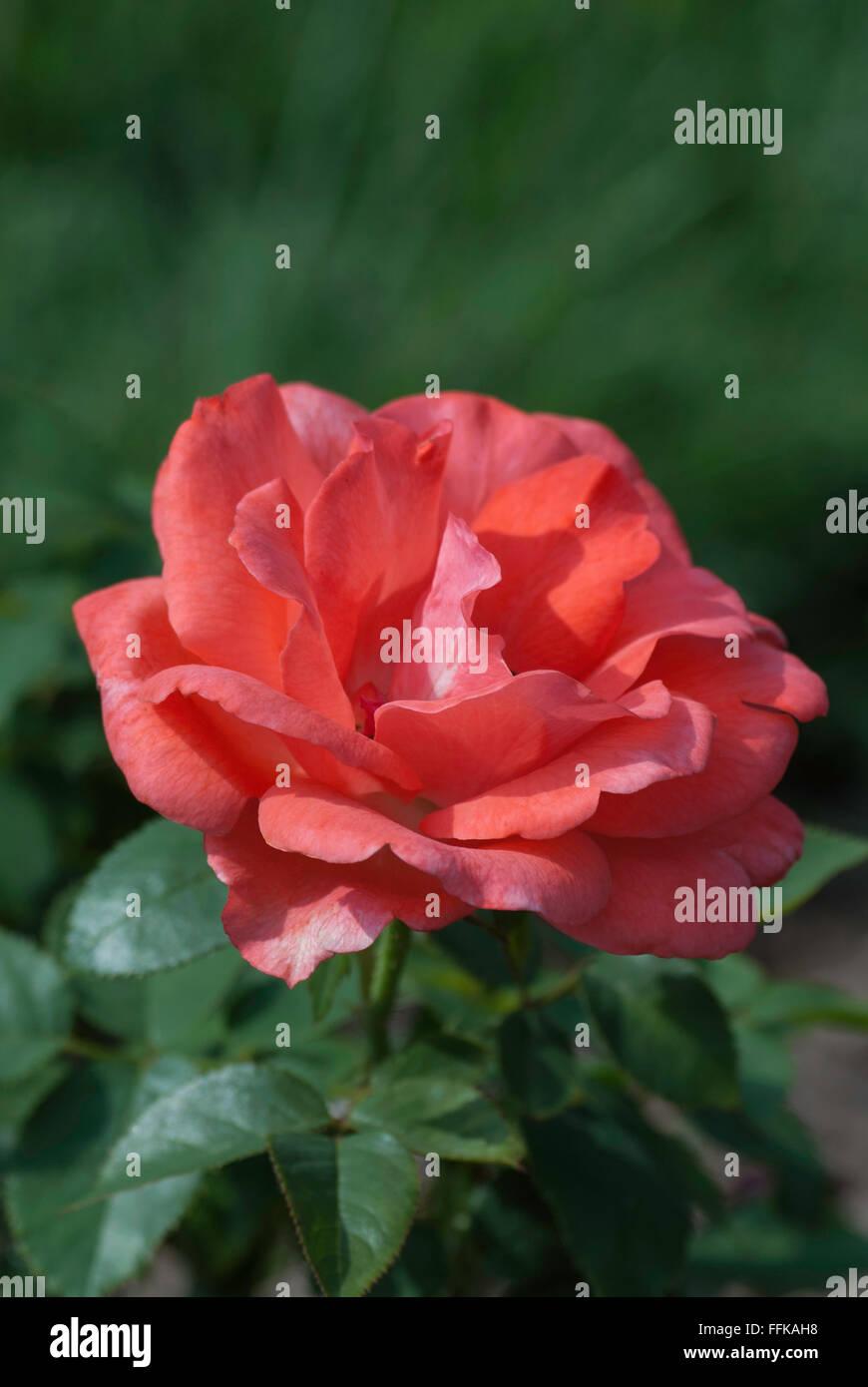Rosa LASTING PEACE,  Rose - Stock Image