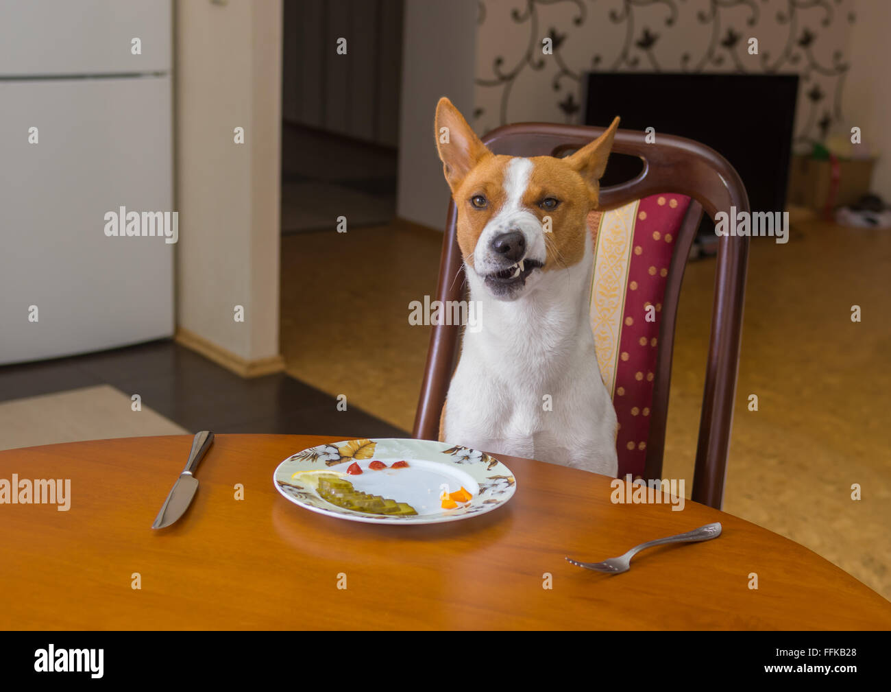 Basenji shows grimace of dissatisfaction sitting at the dinner table and  waiting for master-waiter would be more - Stock Image