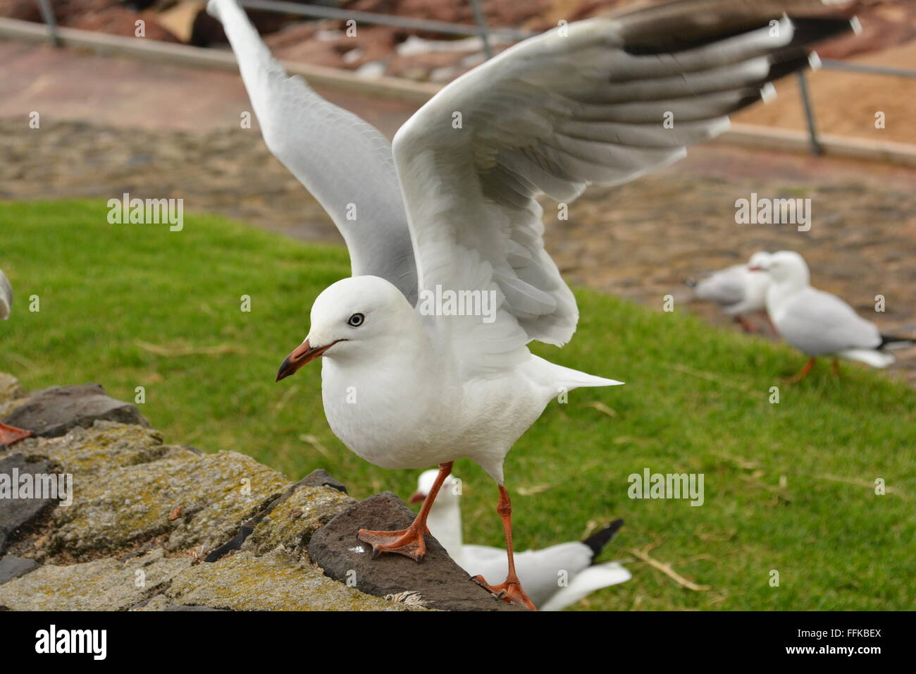 Seagull With His/Her Wings Extended - Stock Image