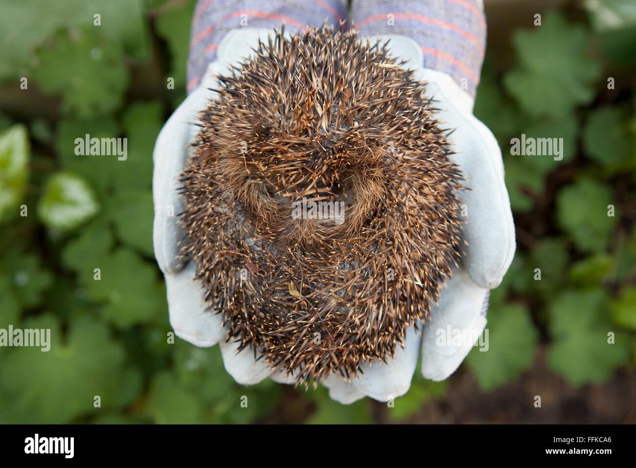 Rolled up hedgehog on hands - Stock Image