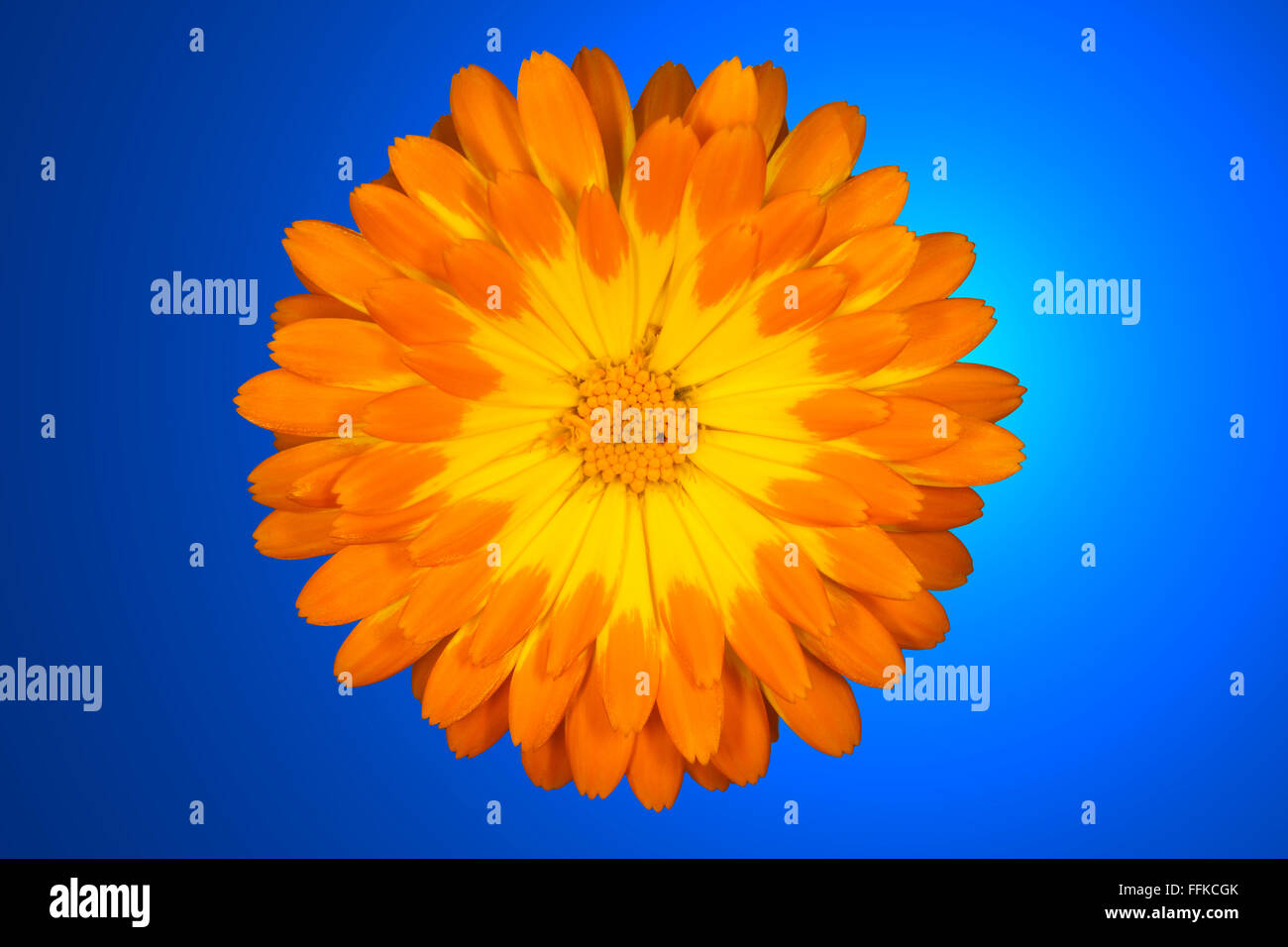 Orange Marigold Flower Against A Blue Background Stock Photo