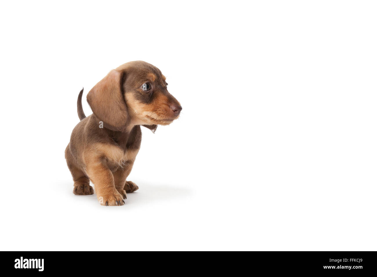 Wire-haired dachshund puppy on white background with space for text - Stock Image