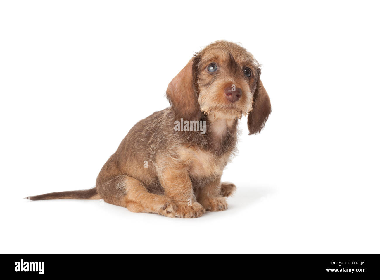 Cute wire-haired dachshund puppy on white background - Stock Image