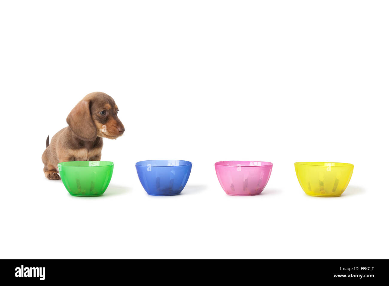 Wire-haired dachshund puppy cannot choose between colored cups with food on white background - Stock Image