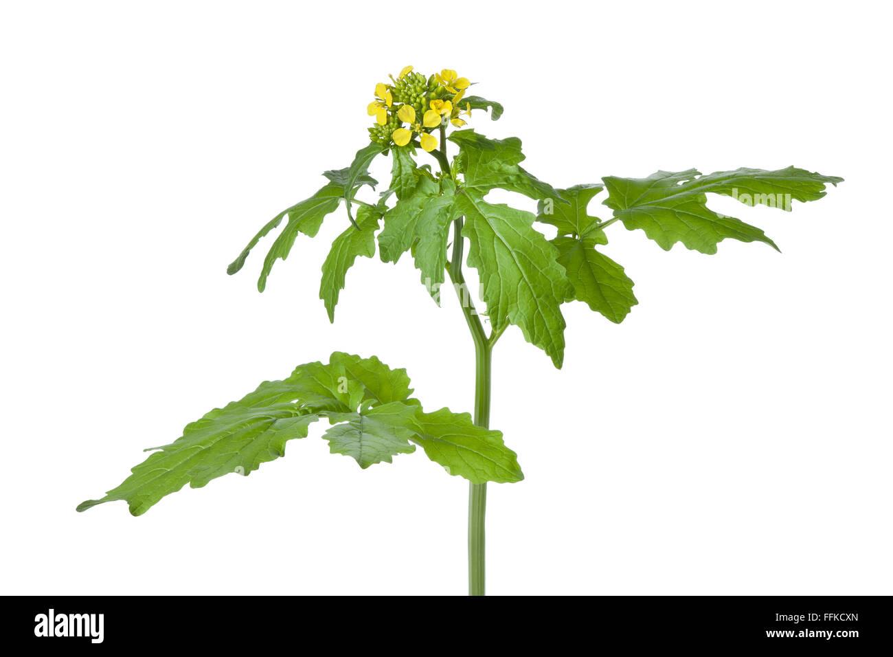 fresh yellow flowering mustard plant on white background stock image