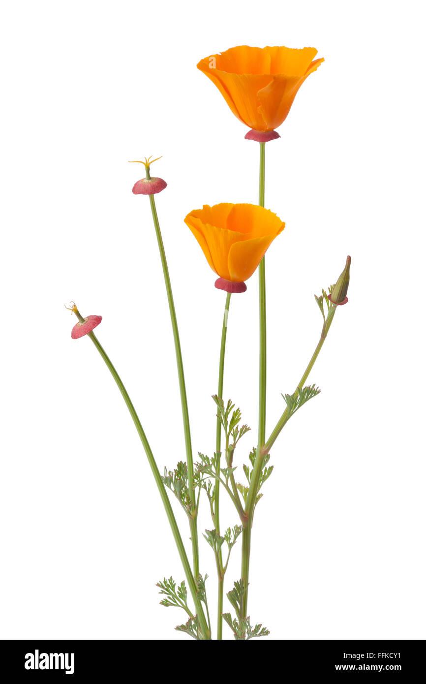 Fresh orange California poppy and buds on white background - Stock Image