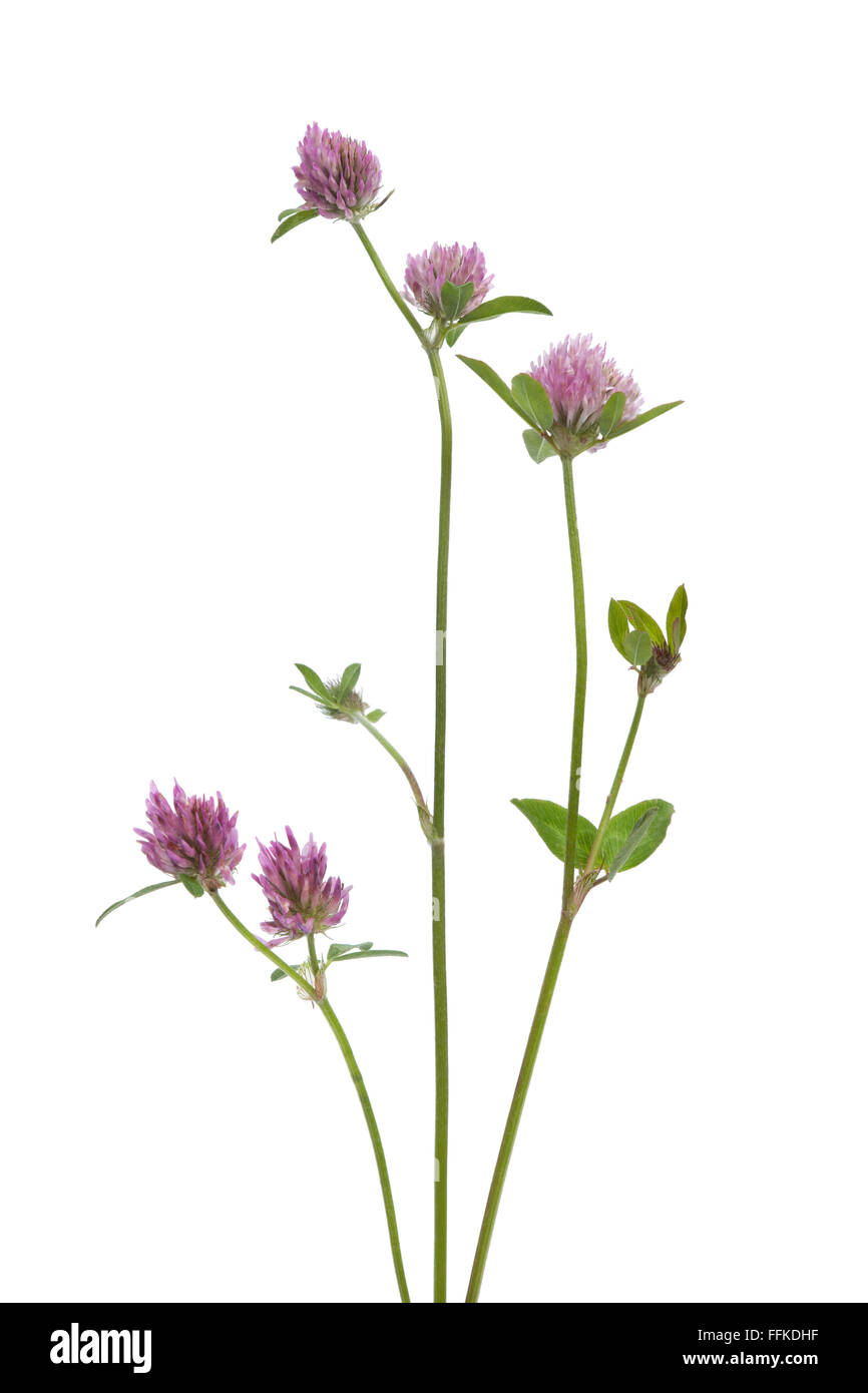 Fresh red clover on white background - Stock Image