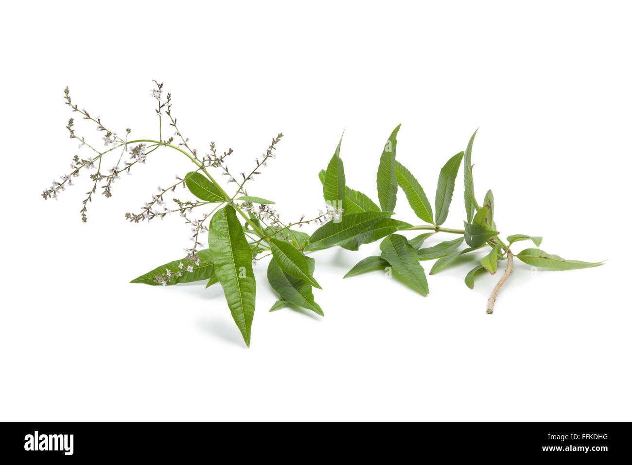 Twig of flowering verveine on white background - Stock Image
