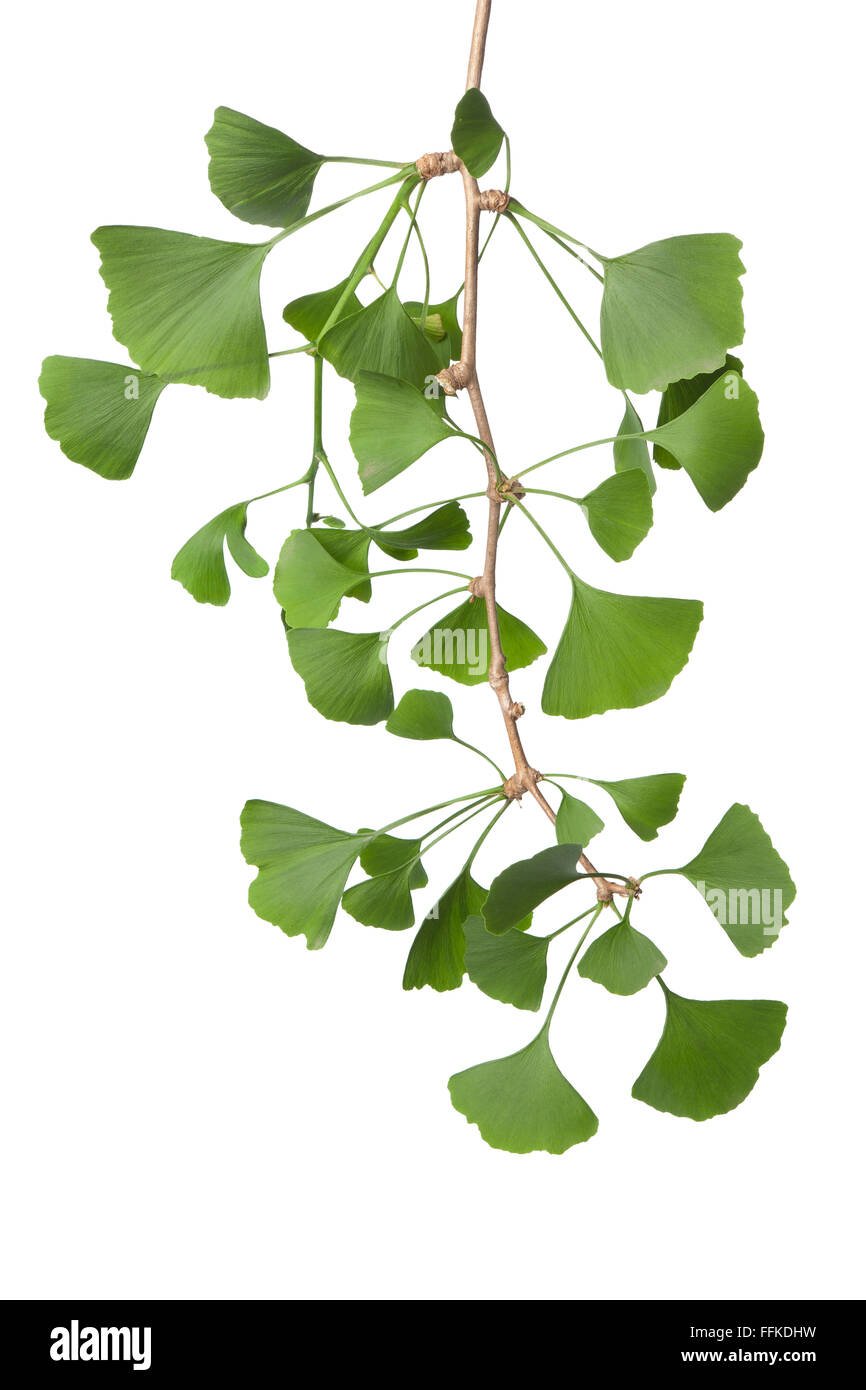 Twig of green Ginkgo biloba leaves on white background - Stock Image