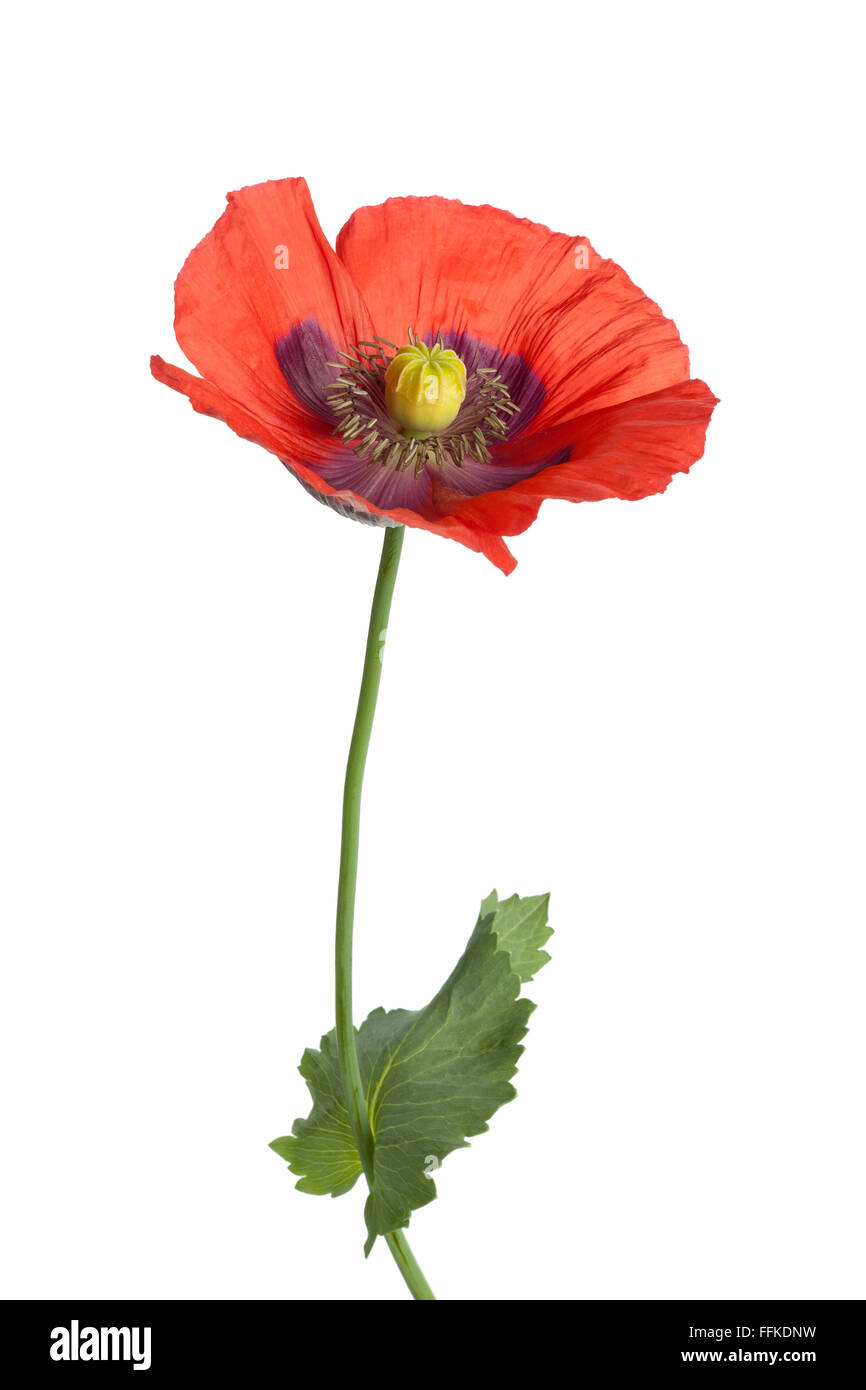 Red flowering Opium poppy on white background - Stock Image