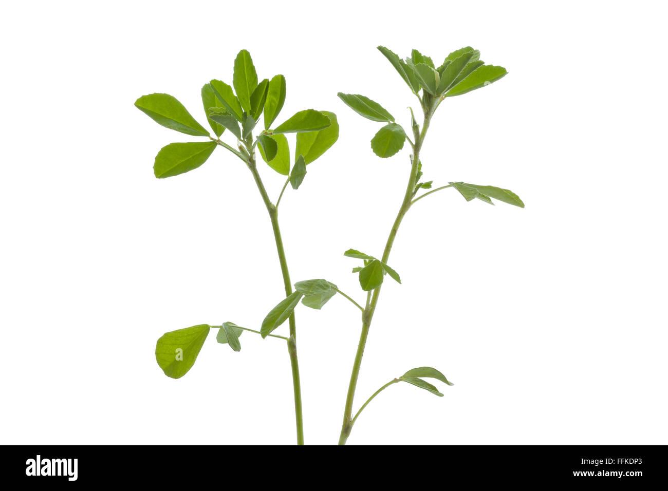 Twig of Fenugreek on white background - Stock Image