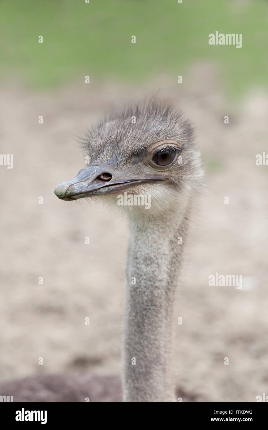 Young Ostrich bird on a farm Stock Photo
