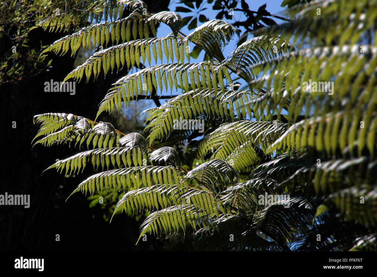 Green fern, the national symbol of New Zealand - Stock Image