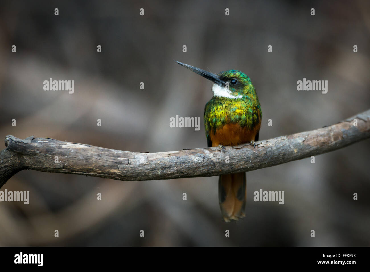 A Rufous-tailed Jacamar Stock Photo
