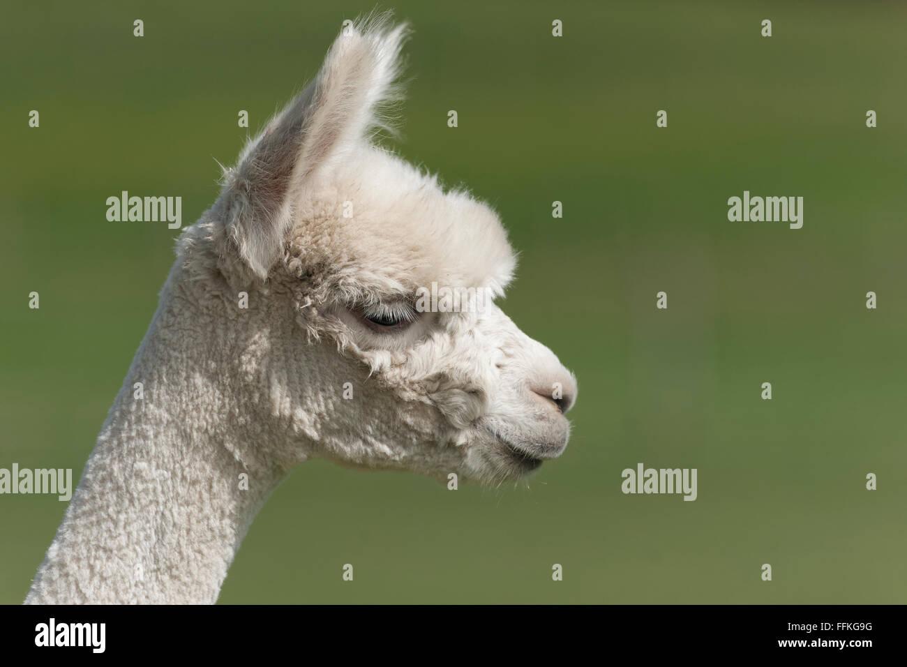Alpaca portrait - smaller animal than the Llama - Stock Image