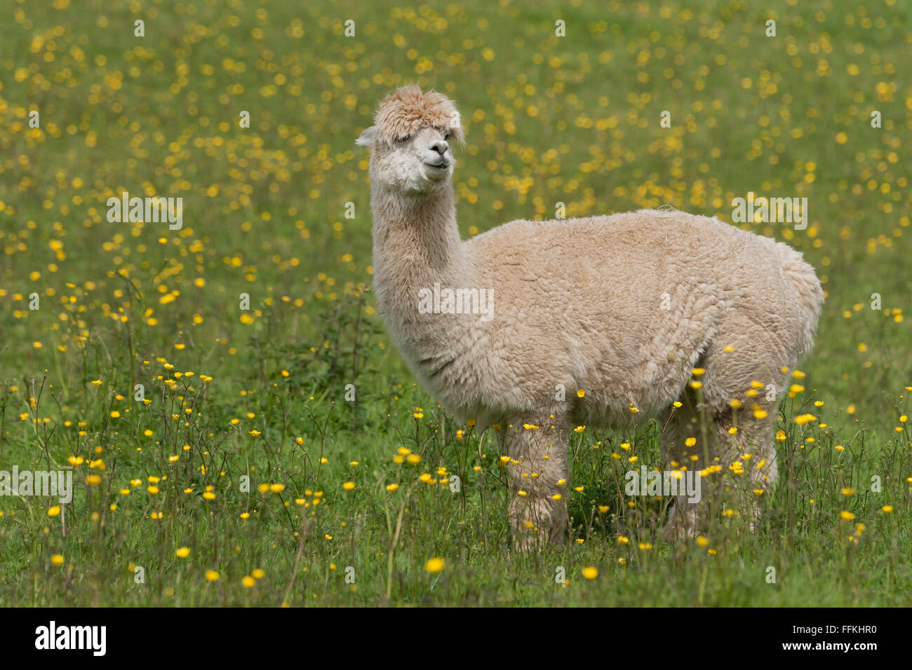 Llama portrait - a larger but related animal to the Alpaca - Stock Image